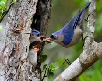 baby birds in next velvet-fronted nathatch